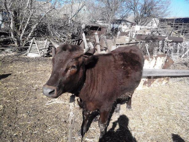 Корова молочная тельная