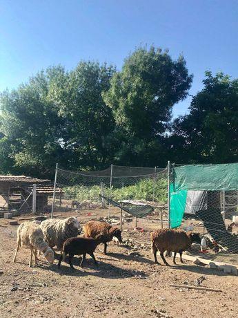 Ovelhas e cordeiros à venda