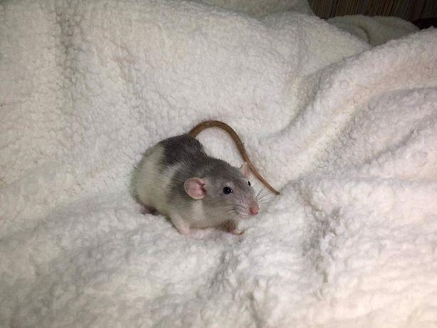 Szczurki szczury devil dumbo szczurek szczur