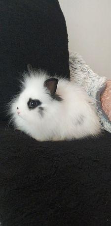 Karzełek Teddy-królik miniaturka