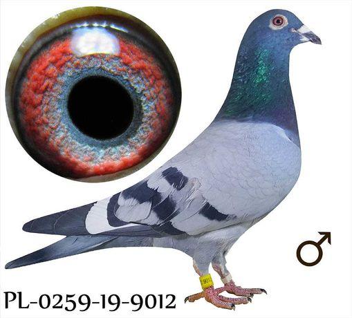 Młode 2021 Para 36 Oryg. Bula-Latacz gołąb gołębie pocztowe Linia Best