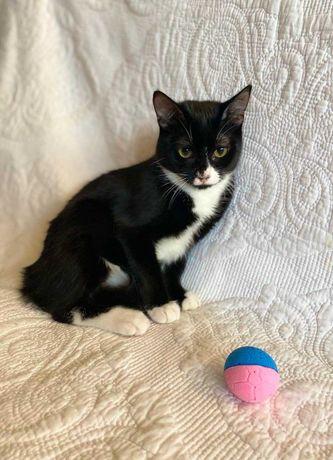Котенок Маркиза, очаровательная би-колорная красотка