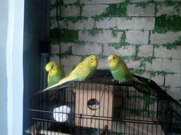 Papużki faliste super!!