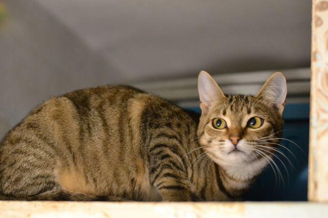 смугастичок кішечка в шовковистій шубці 8м