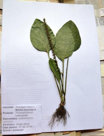 Zestaw 30 gatunków rośliny zielne z korzeniami. Zielnik, do zielnika.