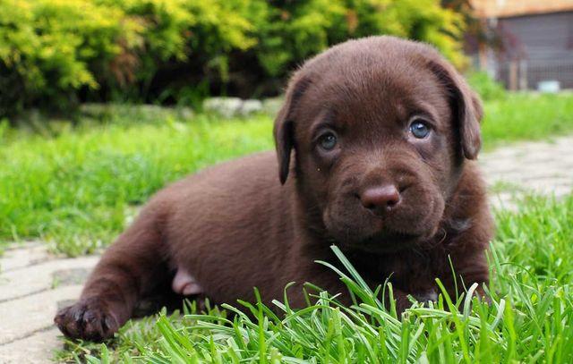 Labrador Retriever - ZKwP FCI
