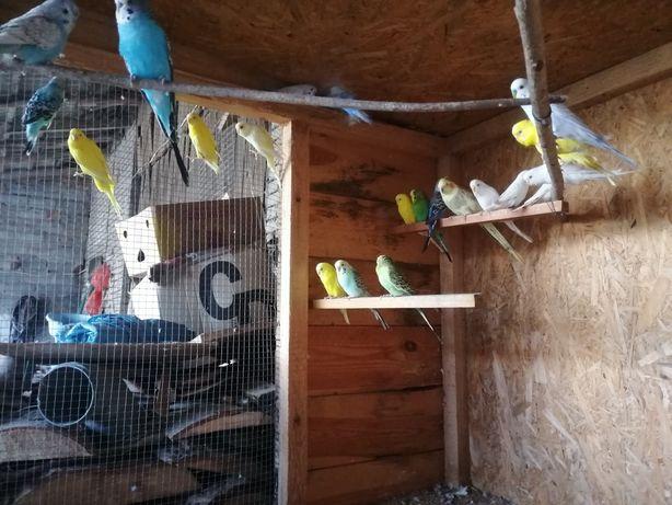 Papugi faliste nimfy