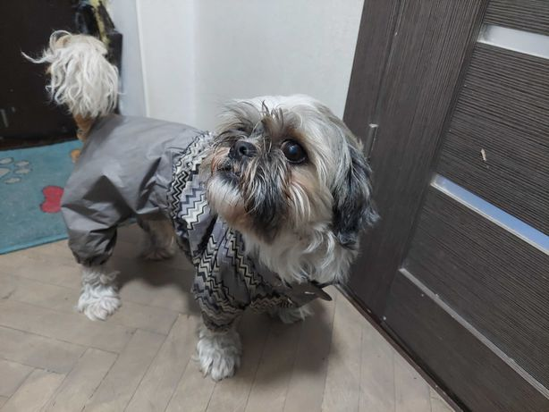 Найдена собака кобель ши-тцу