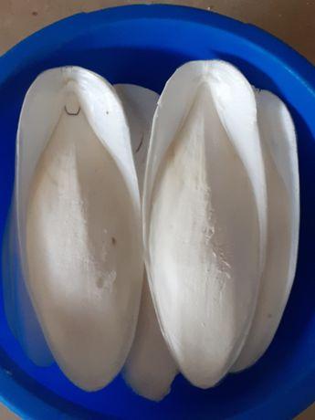 Cascas de choco limpas