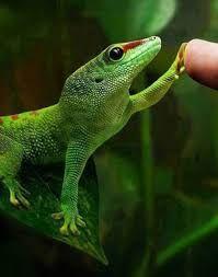 Фельзума мадагаскарский дневной геккон