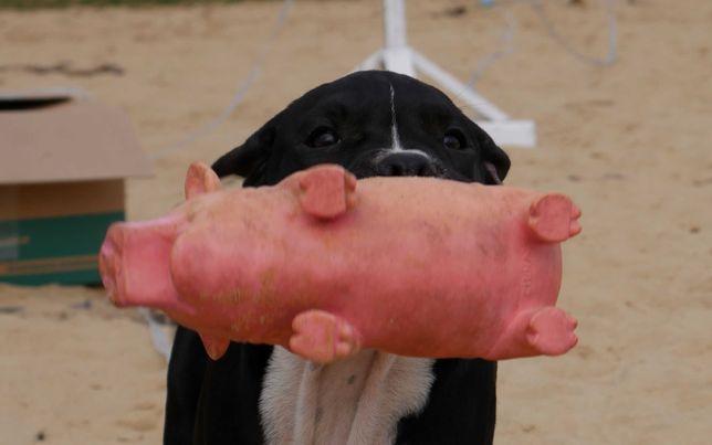 American Staffordshire Terrier, ZKwP Amstaff FCI - suczka HOPE COOKE