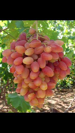 Продаем черенки винограда