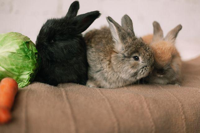 Ангорские кролики. Немецкая Ангора.