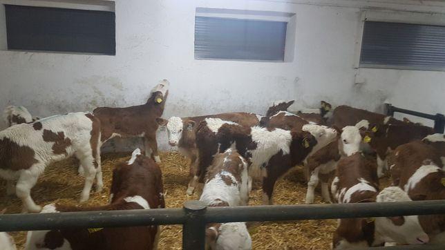 Mięsne Byczki Cielęta Simental