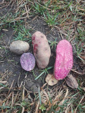 Продам картоплю з фіолетовим і розовим та чероною мякоттю