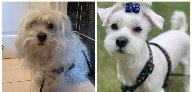 Strzyzenie psów york Maltanczyk shih tzu Hawańczyk psi fryzjer