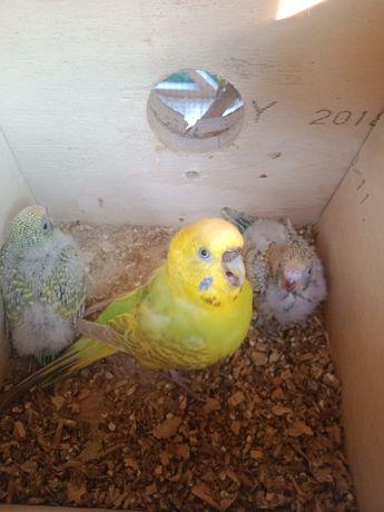 Papugi faliste do ręcznego karmienia