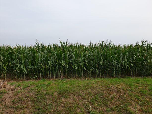 Sprzedam kukurydzę na pniu