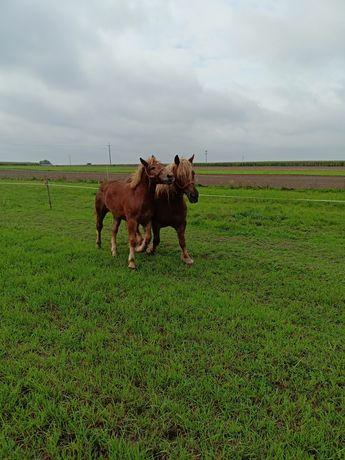 Sprzedam konie widoczne na zdjęciach