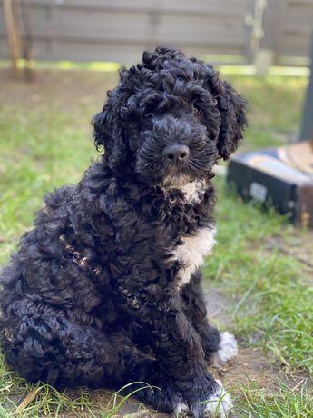 Portugalski Pies Dowodny- szczeniaki