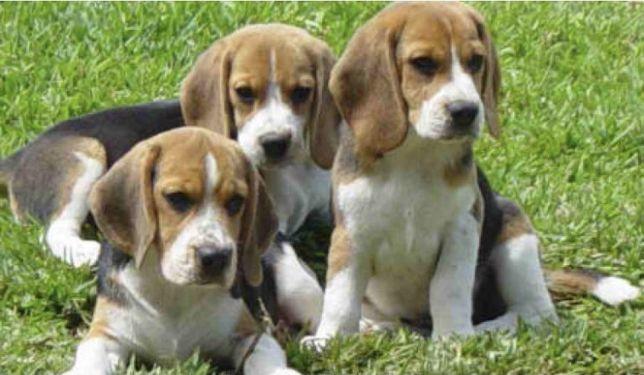 Beagle szczeniaki