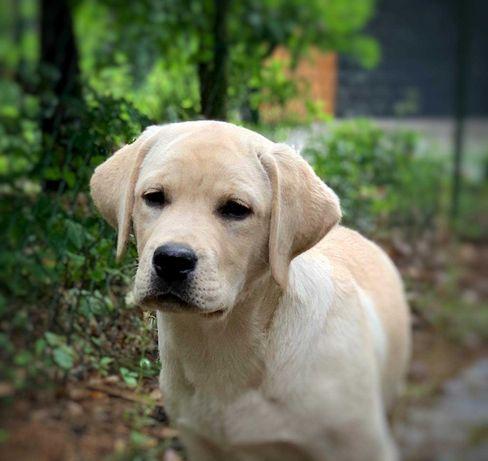 Labradory biszkoptowi chłopcy