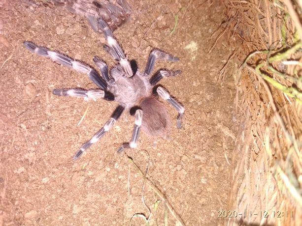 N.chromatus, pająk, ptasznik, RZESZÓW ok 3DC