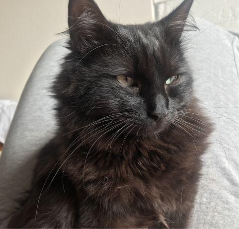 Віддам чорного пухнастого котика