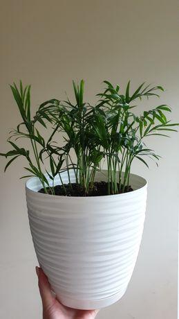 Palma Roślina pokojowa z doniczką