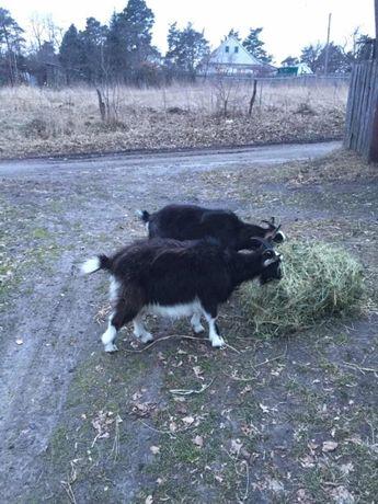 Молода коза 1 рік