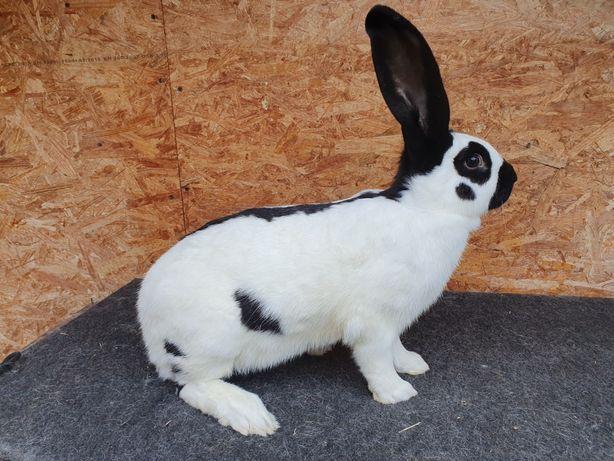 Królik,króliki Olbrzym Srokacz Czarny (OSC) samica