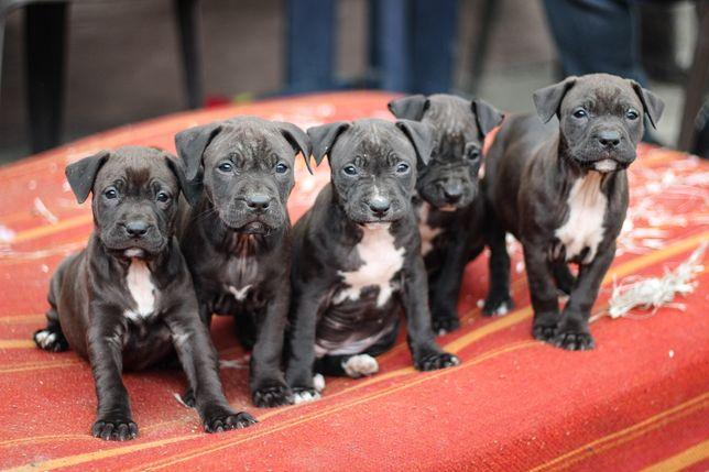 2 pieski i 3 suczki pitbull american pit bull Terrier apbt