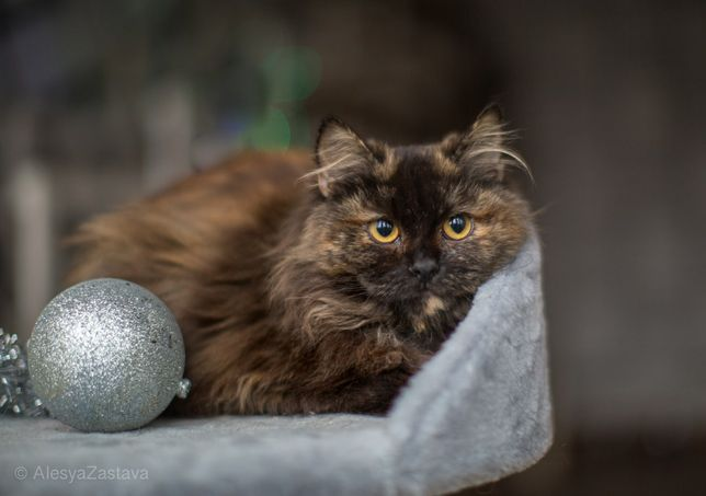 Клара, 6 мес, кошечка, котенок, красивая кошка
