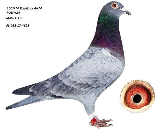 Gołębie Młode 2020 M.Trzaska x A&M Podyma