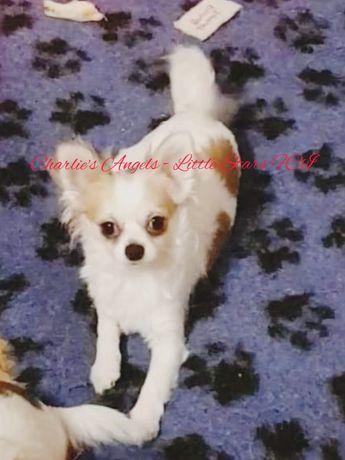 Chihuahua maleńki samczyk (FCI)