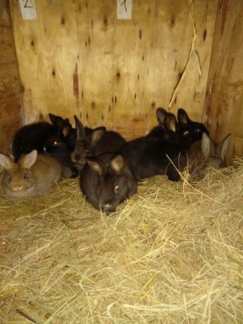 Młode króliki do dalszego chowu