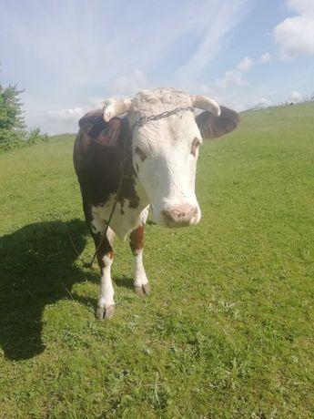 Продам добру корову деталі за телефоном.