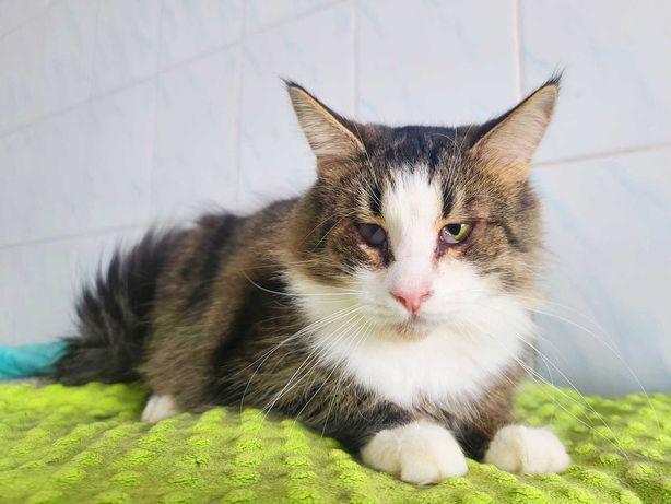 Метис мейн-куна кот котенок Тимофей 1г. Отдам очаровательного котика