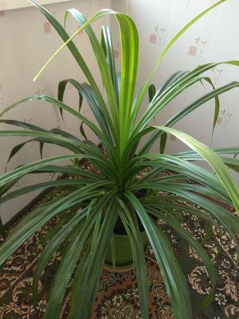 Пальма Пандаус для дома или офиса