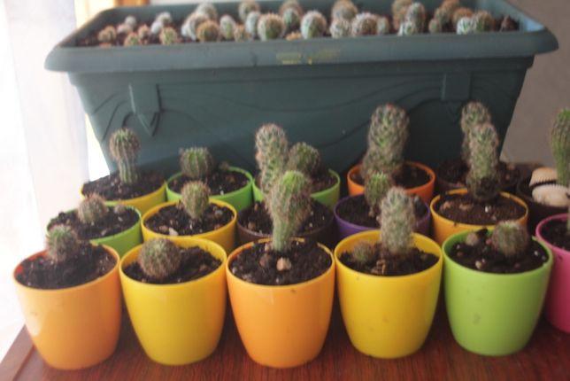 Продам кактусы разных размеров
