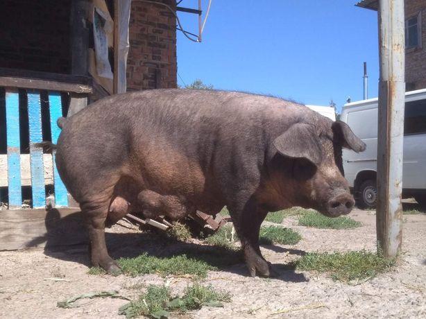 Свиноматки  на мясо Дюрок, Мангал