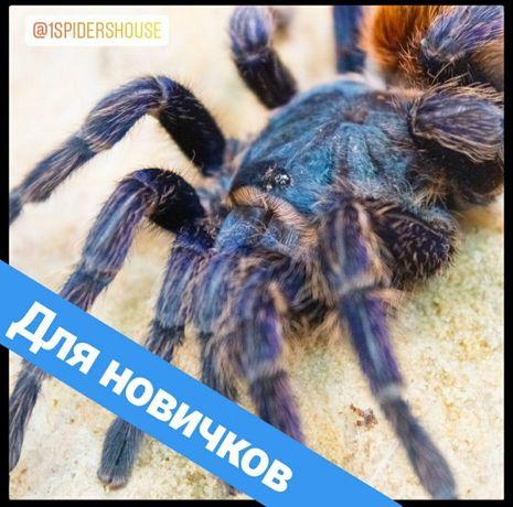 Пауки птицееды для новичков наборы корм террариумы по Украине