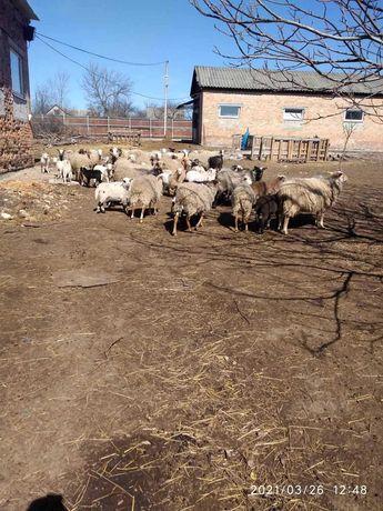 Продам овец романовской  и курдючной породы