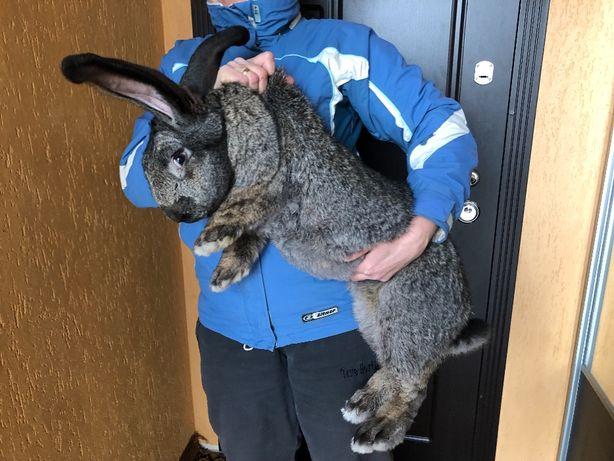 Кроль Кролики Крольчата Бельгийский великан (Фландр)