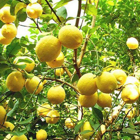 Limão  Doce - Limoeiro