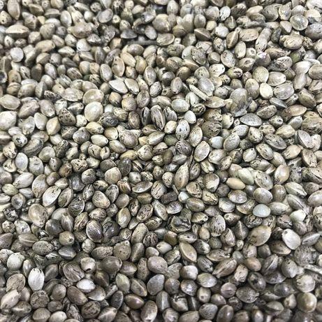 Семена конопли техничиской для рыбалки