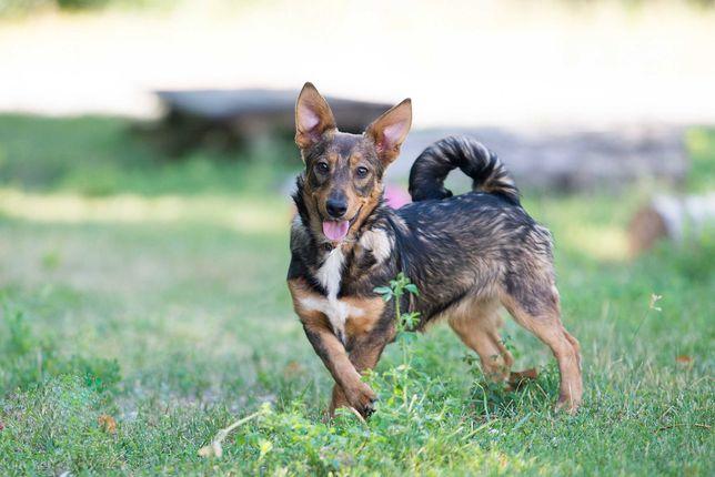 Отдам в хорошие руки Олимпию, небольшую собачку подростка.