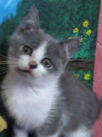 Котик--щотландец