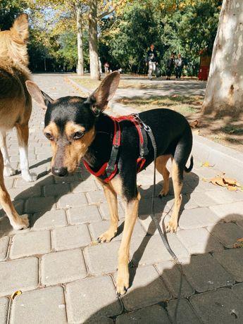 Собака метис пинчера или той терьера ищет любящую семью
