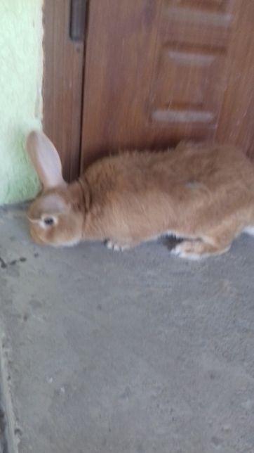 кролі